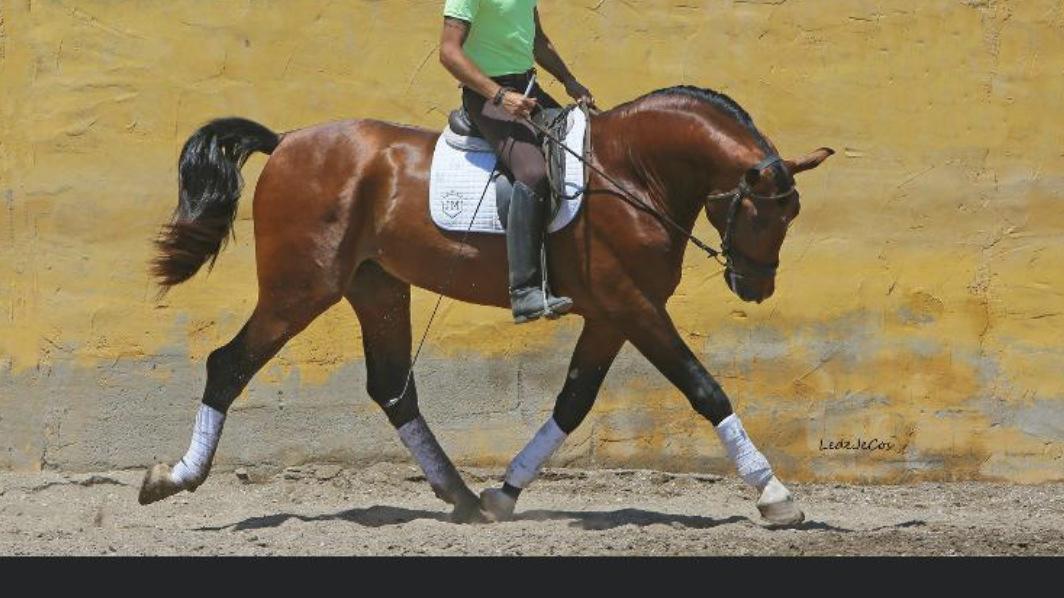 PRE Pferd  Enkel eines qualifizierten Hengstes Pyro frei. Cod 17732