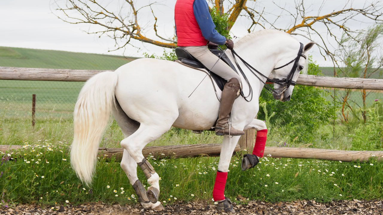PRE Horse PSG level with piaffe initiated passage and flying changes . Cod 14134