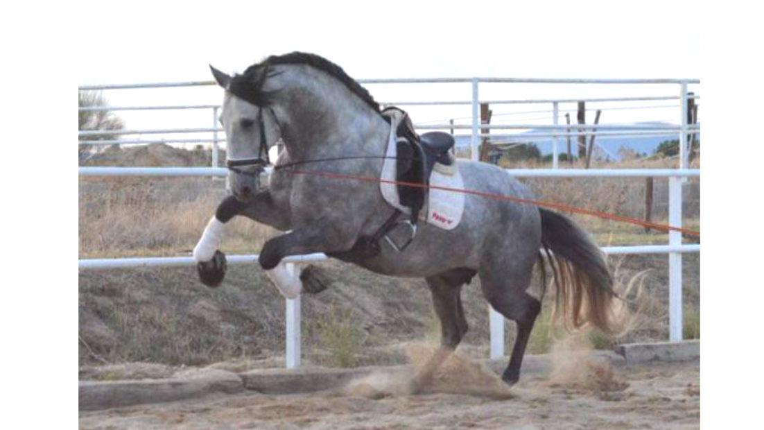 Schönes andalusisches Pferd von großer Größe zu verkaufen. Cod 18516