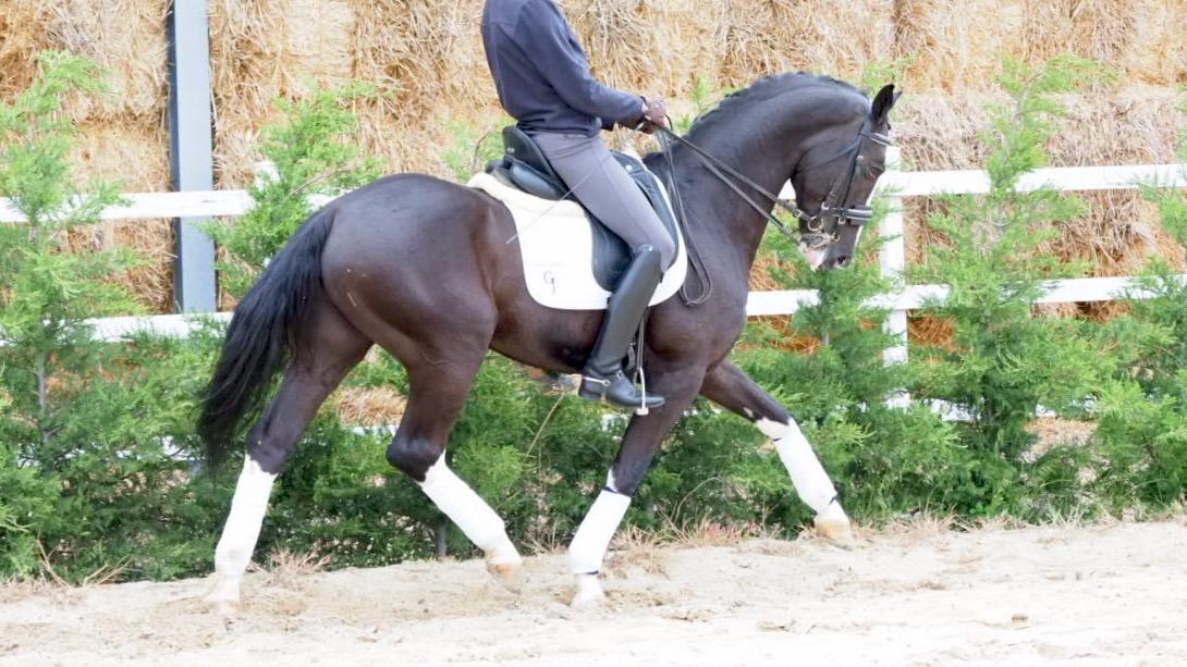 Spectacular black CDE horse PSG level. Cod 18664