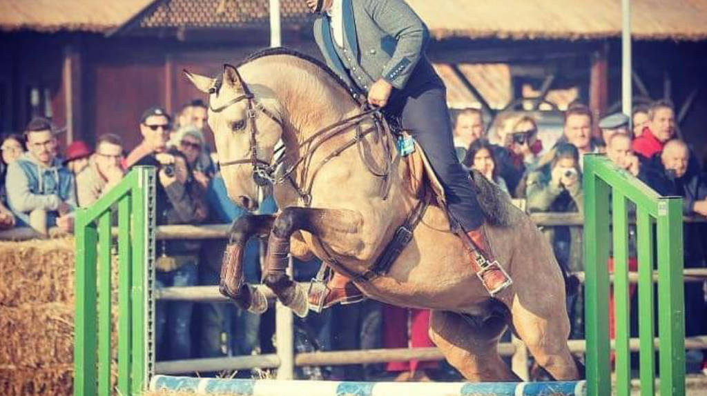 Exclusive Buckskin Lusitano in Grand Prix level.