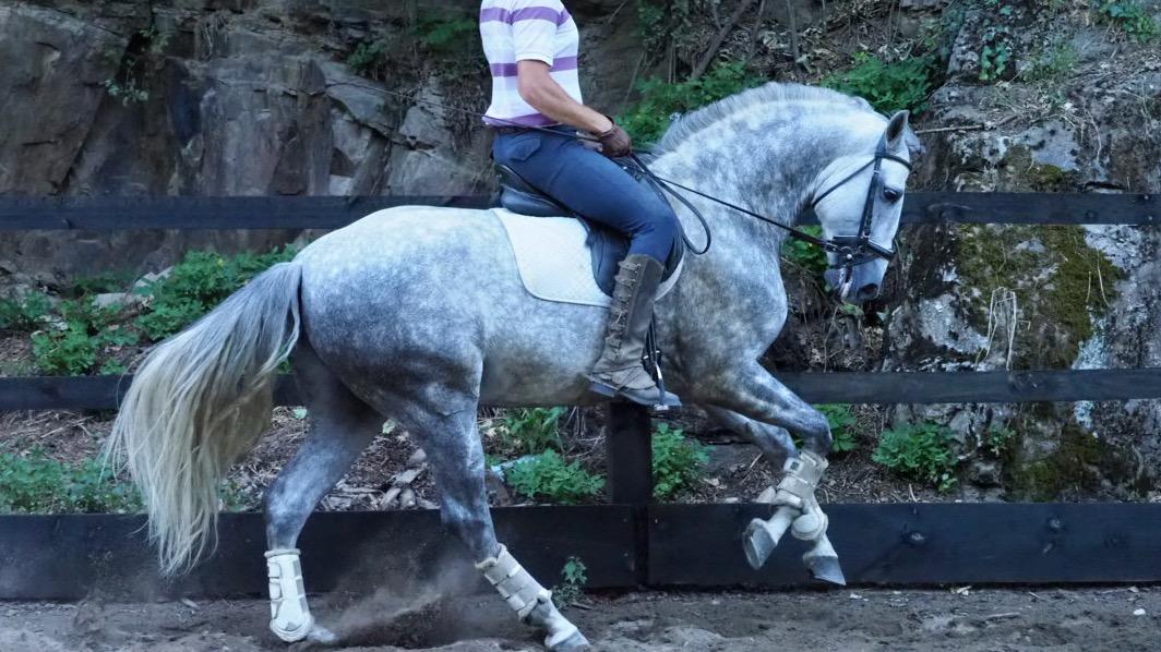 Spanisches Pferd mit viel Rasse und Ausdruck. Cod 18814