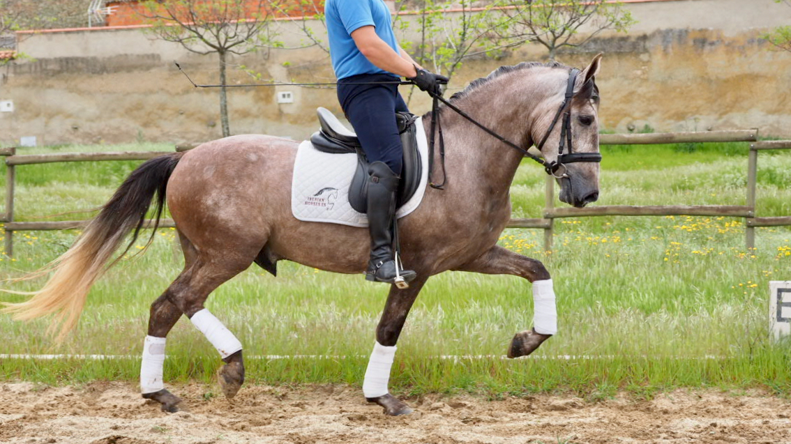 Ideal Spanish Leisure Horse for sale.