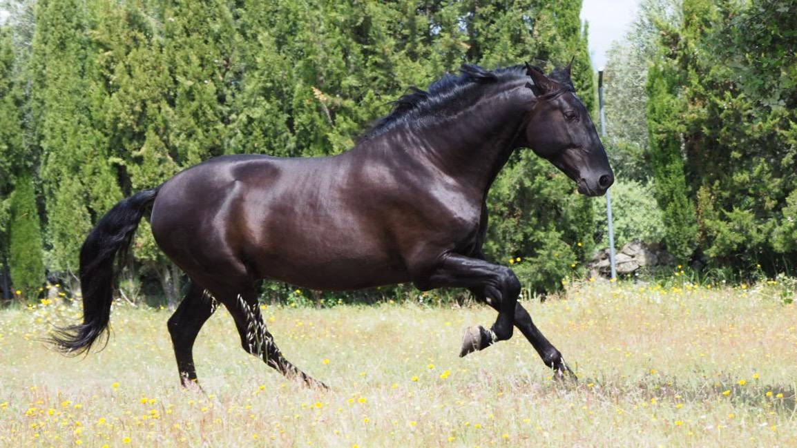 Caballo negro de 180cm hijo de Trovador de Valdeolivas. Cod 19214