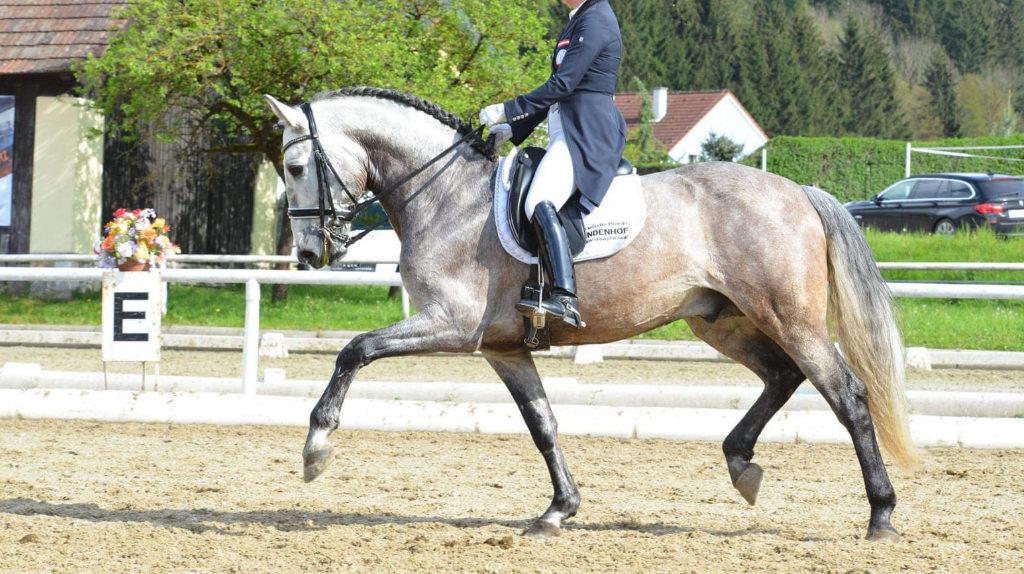 Schoolmaster PRE Horse Grand Prix level. Cod 19315