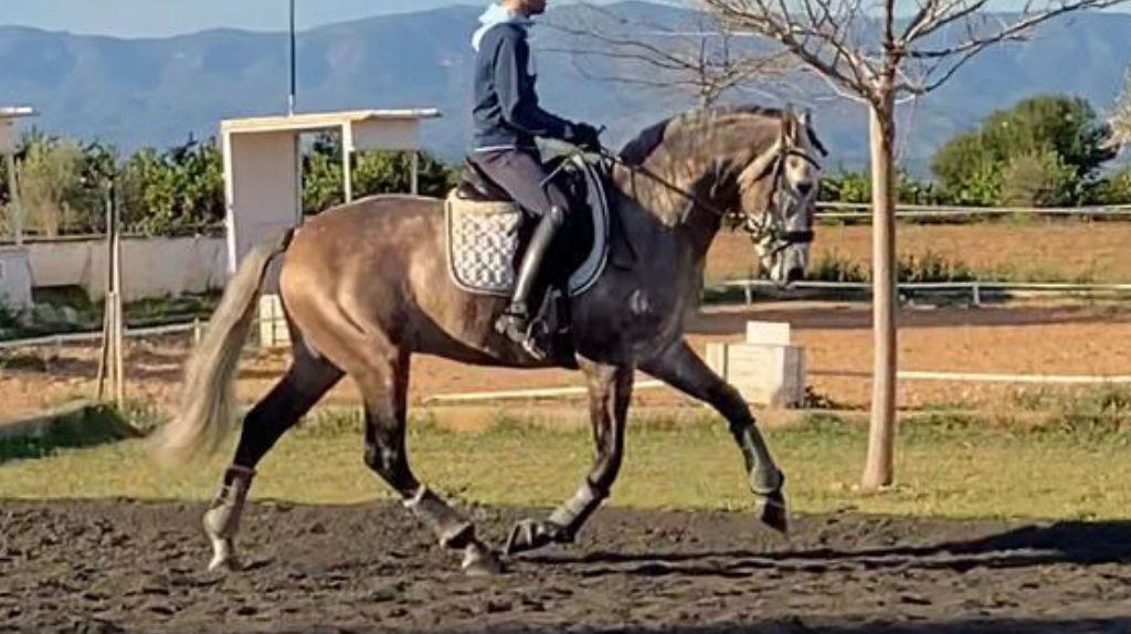 Bello caballo PRE hijo de Atlantico Pal.  Cod 19671