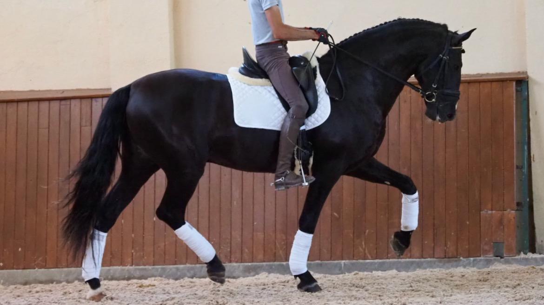 Schwarzes andalusisches Pferd sehr barock.  Cod 20256