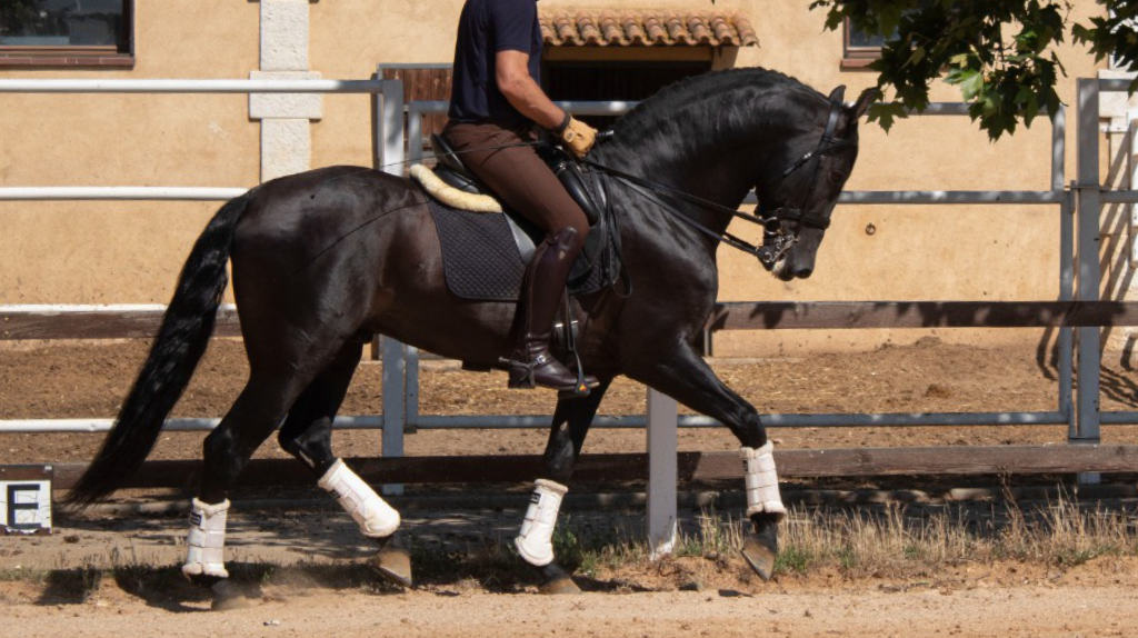 Schönes PRE Schwarzes Pferd zu verkaufen. Cod 19872