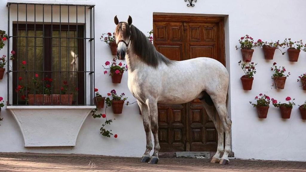 Impresionante Caballo Español libre de piro.  Cod 20235