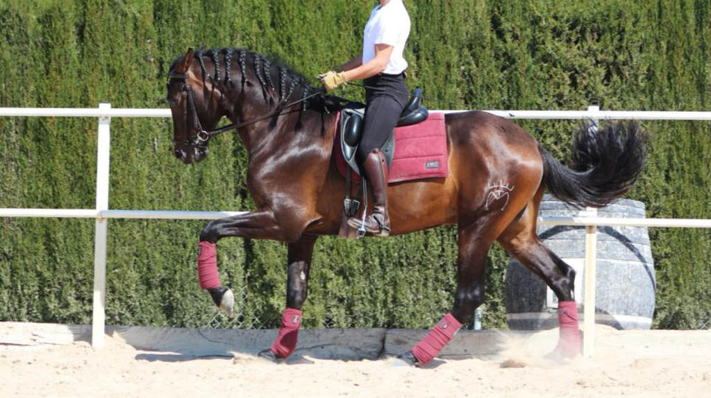 Joven caballo Pre con experiencia en competición.  Cod 20061
