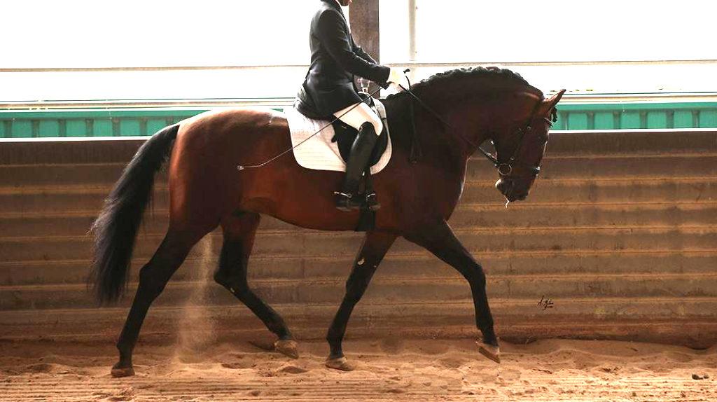 Especial caballo PRE de gran alzada libre de piro. Cod. 20788