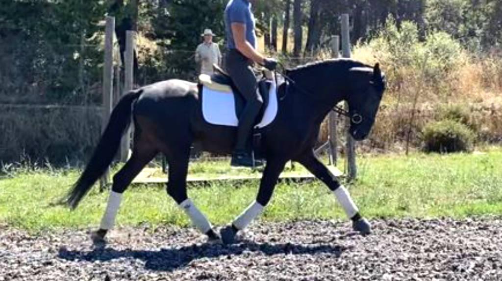 Joven caballo PRE negro con talento para doma. Cod. 20851