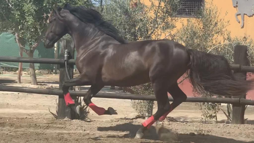 Junges spanisches Pferd mit gutem Charakter. Cod 21345