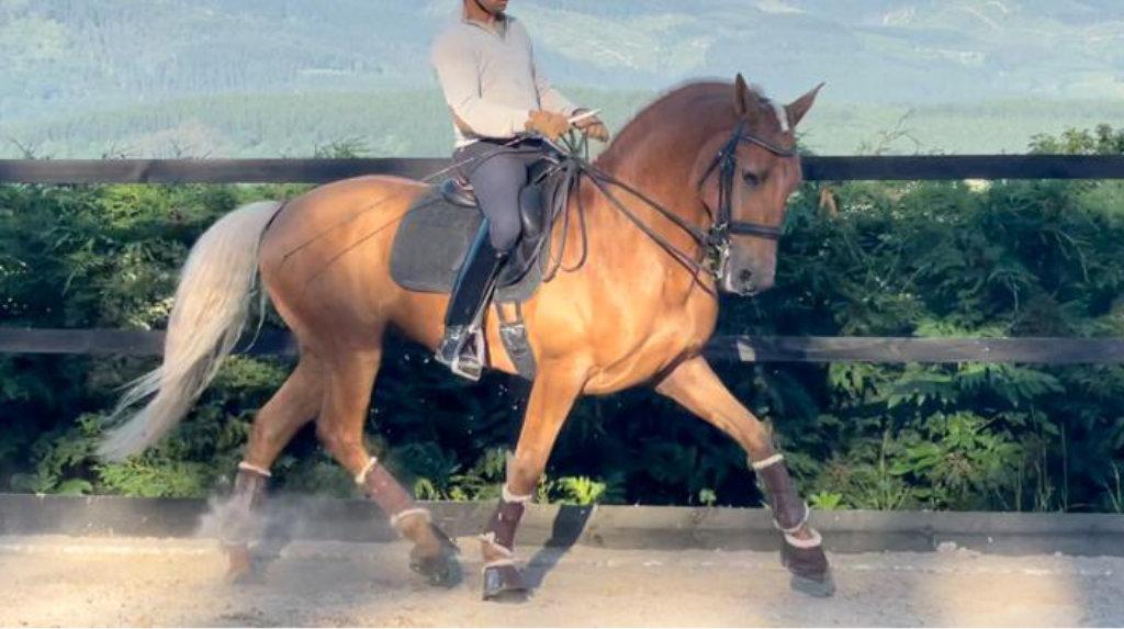 Bello caballo Palomino en nivel medio libre de piro.  Cod. 21224