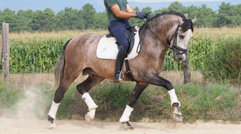 Vielversprechendes junges PRE-Dressurpferd. Cod 21869